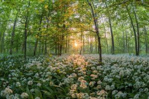 Bärlauch im Wald schöner