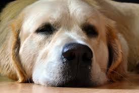 schlafender Labrador