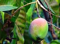 Mango Götterspeise